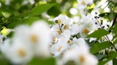 Jasmine flower. Stock Footage