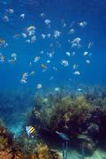 Shoal of sergeant major fish in martinique Stock Photos