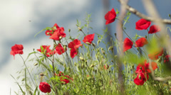 Poppies field Stock Footage