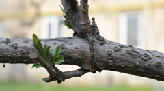 Branch of tree with little green leaves Stock Footage