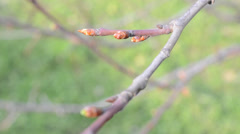Early spring escapes of tree are a birch Stock Footage