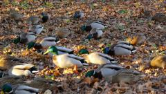 Flock of ducks, search food Stock Footage