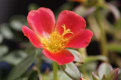 Germany, Bavaria, Moss-rose Purslane (Portulaca grandiflora), close-up Stock Photos