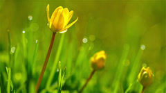 Spring flowers in the morning dew drops. 4K. FULL HD, 4096x2304. Stock Footage