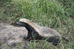 African honey ratel Stock Photos
