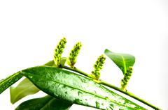 fresh laurel buds - stock photo