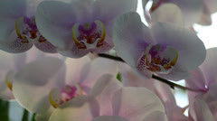 Pink orchid petals moving on the wind Stock Footage