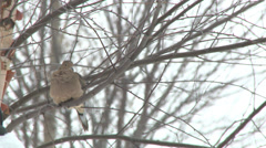 Mourning dove perched in tree Stock Footage