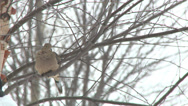 Stock Video Footage of mourning dove perched in tree