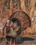 wild turkey (meleagris gallopavo) - stock photo