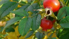 Autumn rose hip,  sunny day Stock Footage