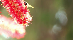 Honey bee collecting nector Stock Footage