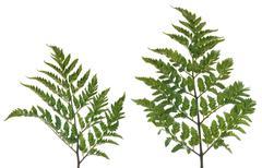Fern leafs - stock photo