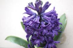 Blue hyacinth in blossom alone Stock Photos