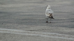 Seagull walking around the parking site leaves the composition to the right Stock Footage