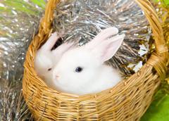 white rabbits in basket - stock photo