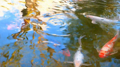 Large Koi Fish Pond Stock Footage