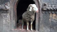 Ram in  buddhist temple in Katmandu, Nepal Stock Footage
