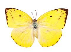 Lemon Emigrant butterfly - stock photo