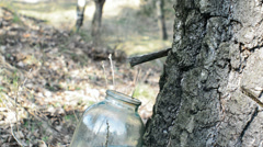 Collect birch sap Stock Footage