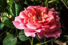 bloomed rose - stock photo