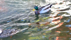 Male and Female Mallard Ducks Swimming Stock Footage
