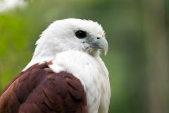 sea eagle portrait - stock photo