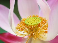 Pink lotus with its pollen - stock photo