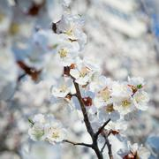 Branche of blossoming tree with white flowers - stock photo