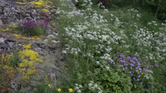 Pan over wild flowers growing on a rock Stock Footage