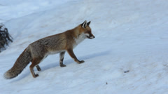 Red fox is walking  in Gran Paradiso National Park Stock Footage