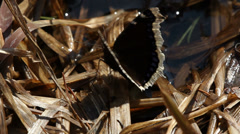 The Mourning Cloak butterfly - Nymphalis antiopa - stock footage