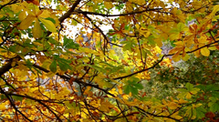 Yellow leaves swaying in the tree, close up - stock footage