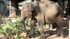 Young elephant kicking tough vegetation and ripping it apart with trunk Stock Footage