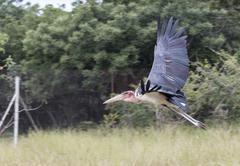 flying marabou - stock photo