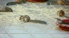 Chipmunks and sparrows eating the grain scattered on the ground Stock Footage