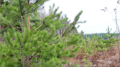 Young spruce forest Stock Footage
