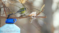 Tomtit sitting on the branch near the feeder Stock Footage