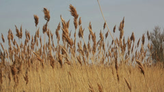 Reed bed wind blowing summer day Stock Footage