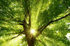 Auringonsäteet dramaattisesti putoamisen puu Kuvituskuvat