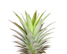 a fresh pineapple with the top leaves slightly browning. - stock photo