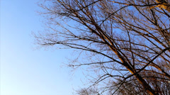 Branches of barefoot trees waving in the wind. - stock footage