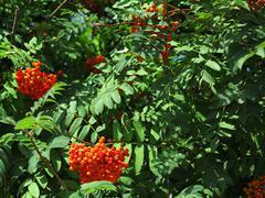 autumn rowan berries ashberry. sorbus aucuparia - stock photo