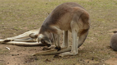 Red Kangaroo Sitting on Her Tail Stock Footage