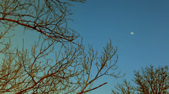 Treetops with the moon at sunset. Stock Footage