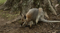 Red Necked Wallaby scratching Stock Footage