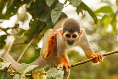 Stock Photo of saimiri sciureus monkey jumping in the amazonian rainforest