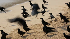 Flock of hungry crows on beach feeding on fish scraps Stock Footage