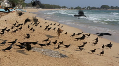 Dog on beach surrounded by flock of hungry crows feeding on fish scraps Stock Footage