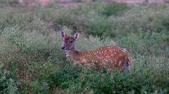 Sri Lankan axis deer in park Stock Footage